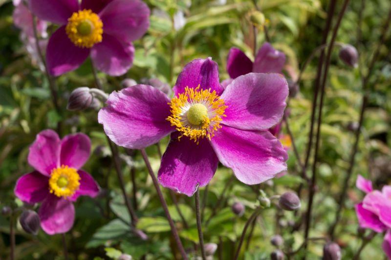 How To Grow Japanese Anemones Pugh S Garden Centres
